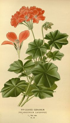 Pelargonium peltatum (L.) L'Hérit. [as Pelargonium lateripes L'Hérit.] Step, E…