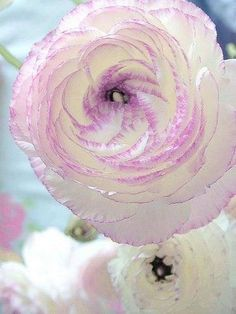 Ranunculus Picotee, a Peony-like flowers with a lavender pink edge, is this real? My mom loved peonies. Amazing Flowers, My Flower, Beautiful Flowers, Beautiful Gorgeous, White Flowers, Simply Beautiful, Unique Flowers, Cactus Flower, Purple Roses