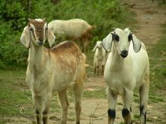 Breeding for a sustainable animal production Animal Agriculture, Livestock, Poultry, Goats, Horses, Animals, Backyard Chickens, Animales, Animaux