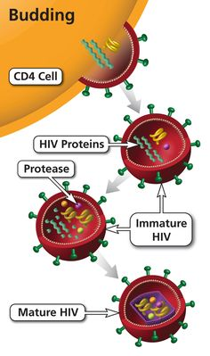 Protease inhibitors (PIs) block protease (an HIV enzyme). By blocking protease, PIs prevent new (immature) HIV from becoming a mature virus that can infect other cells. Class Projects, School Projects, School Ideas, Hiv Life Cycle, Health Center, Pharmacology, Microbiology, Biology