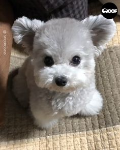 Here's something to brighten your day  Cute Teacup Puppies, Super Cute Puppies, Cute Baby Dogs, Cute Funny Dogs, Cute Little Puppies, Cute Dogs And Puppies, Cute Little Animals, Cute Funny Animals, Cute Cats