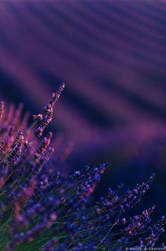 Lavender fields by Amaya Bercetche. Lavender Fields, Lavender Color, Lavender Flowers, Purple Flowers, Beautiful Flowers, Summer Flowers, Violet Aesthetic, Shades Of Violet, Purple Haze