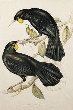 Elizabeth Gould (British painter and lithographer) 1804 - 1841 John Gould (British ornithologist and bird artist) 1804 - 1881 Henry James Richter (British engraver) 1772 - 1857 Neomorpha Gouldii [Huia], 1848 hand coloured lithograph Vintage Bird Illustration, Botanical Illustration, Zealand Tattoo, Fairy Tattoo Designs, Maori Art, Vintage Birds, Vintage Prints, Extinct Animals, Australian Art