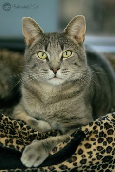 70 Best ideas for cats grey tabby beautiful Cute Cats And Kittens, I Love Cats, Cool Cats, Kittens Cutest, Grey Tabby Cats, Image Chat, Gatos Cats, Kitten Care, Beautiful Cats