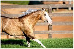Big Chex To Cash; 2002 Palomino AQHA/APHA stallion (Nu Chex To Cash x Snip O Gun)