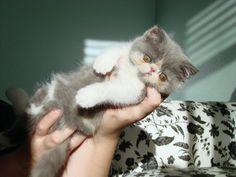Exotic Shorthair kitten!