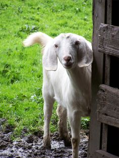 there's something about goats...  I love...