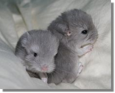 Baby chinchillas - what our Tribble looked like at the start!