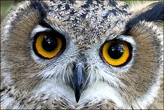 What big eyes you have, beautiful owl.