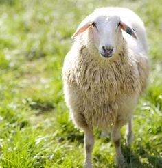 Livestock   Sheep