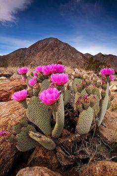 Beavertail Cactus (Opuntia Basilaris) in Bloom