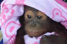 Borneo Orangutan Survival (BOS) Australia