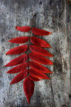 """laurajwryan: """" Sumac Red by Laura J. Wellner, 10/19/2014 """""""