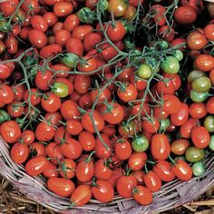 Buy heirloom tomato seeds with outstanding germination. Over 80 varieties of unique heirloom, organic tomato open pollinated seeds. Check out our free heirloom seed catalog.