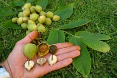Juglans ailanthifolia(Japanese walnut),edible-3, medicinal -1. These heart-shaped nuts easily open when tapped on its side, kernel is mild tasting, buttery and slightly sweet.