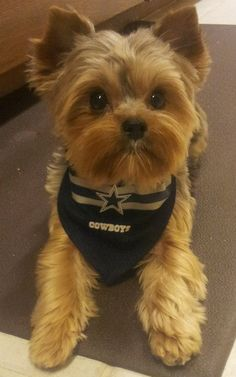 """Receive terrific pointers on """"yorkshire terrier puppies"""". They are offered for you on our site. Yorky Terrier, Yorshire Terrier, Teacup Puppies, Cute Puppies, Pet Dogs, Dog Cat, Doggies, Baby Animals, Cute Animals"""