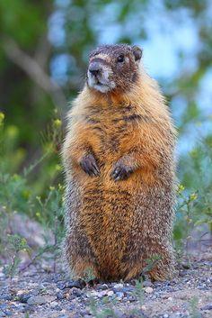 Marmot #wild #animals