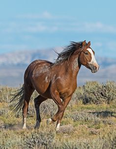 Wild mustang ~Up for all challengers ! Beautiful Horse Pictures, Most Beautiful Animals, Beautiful Horses, Types Of Horses, Majestic Horse, Wild Horses, Wild Mustang Horses, Black Horses, Wild Mustangs