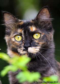 Gorgeous tortie outs Gorgeous tortie outside from And My Cat. Cute Cats And Dogs, I Love Cats, Cats And Kittens, Pretty Cats, Beautiful Cats, Pretty Kitty, Gato Calico, Calico Cats, Clumping Cat Litter