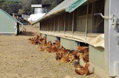Selecciones Avícolas - Diversificación ecológica Types Of Chickens, Farmhouse