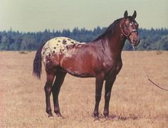 Red Eagle's Peacock. This is the horse that started my love for Appaloosa horses. Saw his photo in an old Western Horseman magazine.