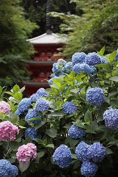 Blue and pink hydrangeas at the  Kyoto Gansen-ji temple , Japan. Photo by Eiji Murakami taken on June 21, 2009 in Kizugawa-shi, Kyoto Prefecture, JP, using a Canon EOS 5D Mark II.