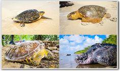 Sea turtles in the Caribbean, Kabu Tours, Nicaragua Tours Caribbean, Tours, Sea Turtles, Adventure, Animals, American, Animales, Animaux, Aquatic Turtles