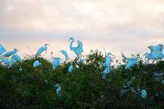 Garzas al amanecer,Llanos Venezolanos