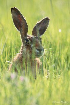 ~~Backlit Hare by Steve Mackay~~