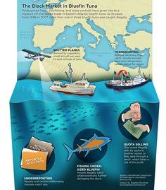 The Black Market in Bluefin Tuna [INFOGRAPHIC]