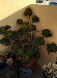 Aeonium Arboreum Atropurpureum 03-10-16  Aeonium Arboreum Atropurpureum 14-03-16