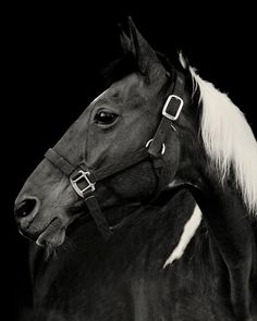 Paint Horse with Black Background Photograph by ApplesAndOats, $25.00