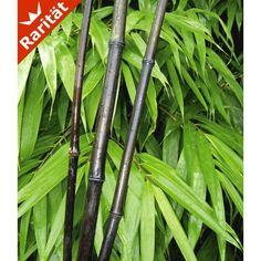Schwarzer Bambus 'Black Bamboo', 1 Pflanze - BALDUR-Garten GmbH