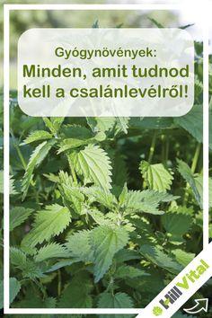 Minden, amit tudnod kell a csalánlevélről! Health 2020, Doterra, Teak, Herbalism, Herbs, Vegetables, Varicose Veins, Health And Beauty, Herbal Medicine