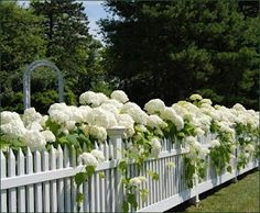White hydrangea against a white picket fence - just gorgeous