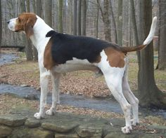 treeing walker couonhound photo | The Treeing Walker Coonhound (above) and the Russell Terrier will make ...