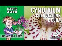 Cymbidium: come curarla
