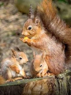 and they say you never see a baby squirrel. how sweet these little ones are… ….and they say you never see a baby squirrel. how sweet these little ones are :] Cute Squirrel, Baby Squirrel, Squirrels, Raccoons, Nature Animals, Animals And Pets, Wild Animals, Cute Baby Animals, Funny Animals
