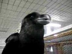 """""""talking"""" raven...   Interesting colouring, this raven has both black and white feathers."""