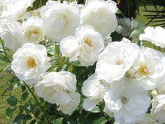 Roses Iceberg de mon jardin. ARF