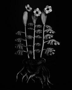 Miljohn Ruperto and Ulrik Heltoft, Voynich Botanical Studies, Specimen 55r Podzim, 2014. Gelatin silver print, 25 1/4 × 21 1/4 in. Whitney Biennial 2014