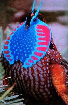 El tragopán, (Tragopan temminckii), es un ave proveniente de Asia, desde Birmania, China e India.