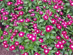 VINCA - My go to plant for absolutely no fail.  'Bright eyes' is beautiful white flower with red center.  Heat-Tolerant Plants