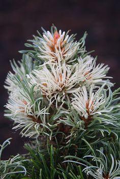 Pinus parviflora 'Hani'