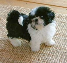 This looks like my baby Badger!!                                                                                                                                                                                 More #ShihTzu