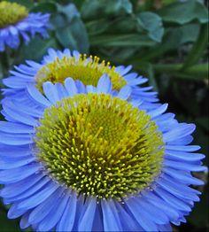 The Watershed Nursery - Erigeron glaucus Happy Flowers, Pretty Flowers, Colorful Flowers, Exotic Flowers, Seaside Garden, Love Garden, Garden Ideas, Butterfly Plants, Butterflies