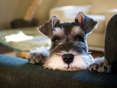 Jaeger playing peek-a-boo | A community of Schnauzer lovers!
