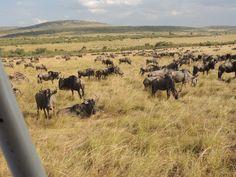 The Masai Mara, the great migration   Viatori #africa #travel #wilderbeast #greatmigration #acacia #kenya #masai