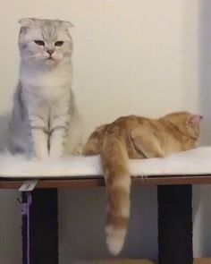 The perfect Two Cat Love Animated GIF for your conversation. Discover and Share the best GIFs on Tenor. Cute Kittens, Cats And Kittens, I Love Cats, Crazy Cats, Cool Cats, Cute Funny Animals, Funny Cats, Gato Grande, Funny Cat Videos