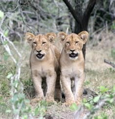 Siblings, Phinda Game Reserve